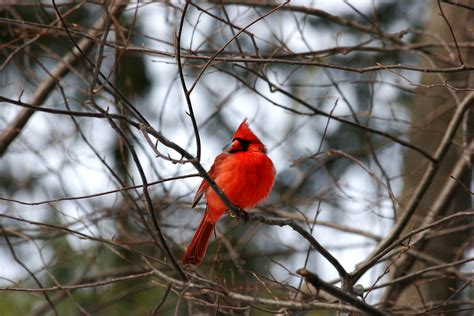 learn how to attract cardinals to your yard