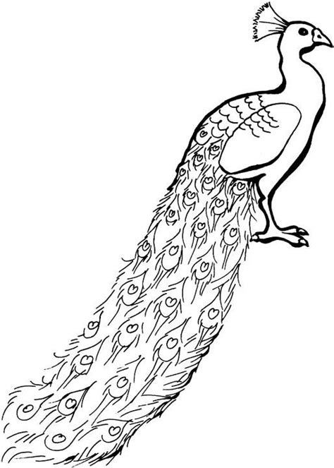 coloring pages of peacock feathers peacock feather coloring page clipart panda free