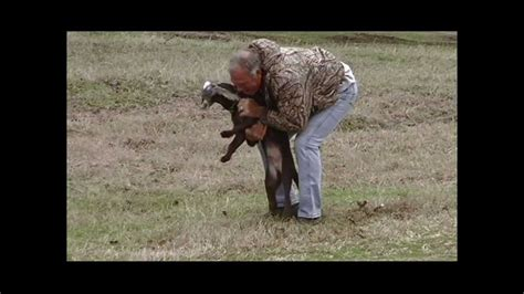 how to a golden retriever to hunt live bird introduction labrador retriever puppy golden