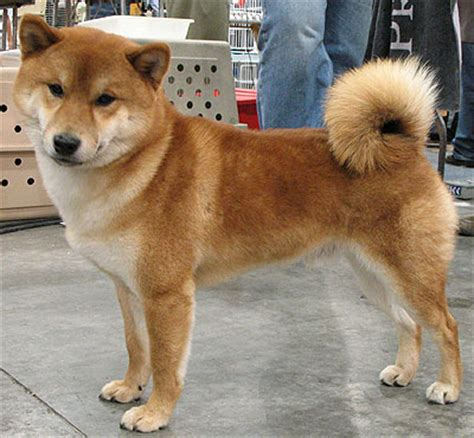 imagenes de animales japoneses mundo japon perros japoneses