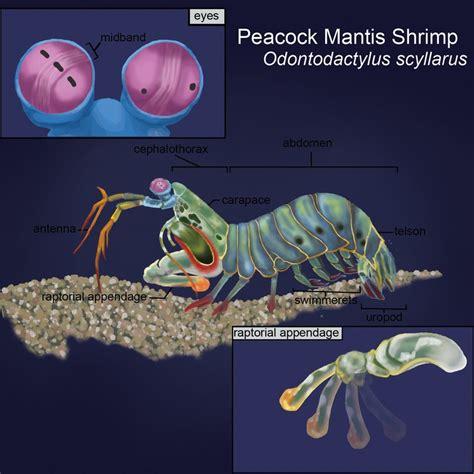 Modern Ghost Shrimp Anatomy Illustration - Image of internal organs ...