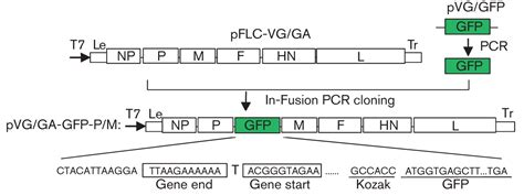 f protein ndv newcastle disease virus with green fluorescent protein