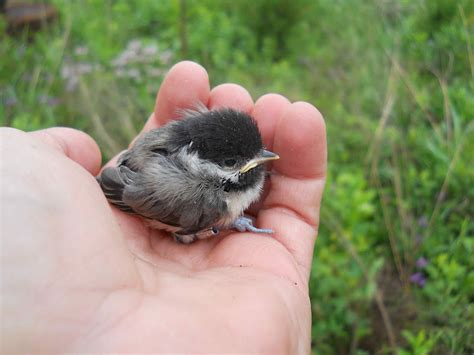 world bird sanctuary backyard birds the carolina chickadee