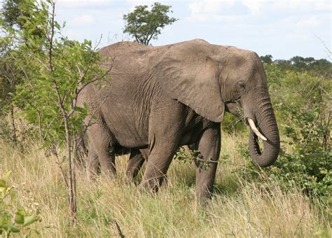 Opinions on African bush elephant