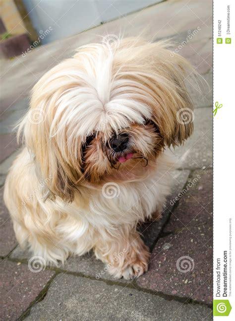 sad shih tzu puppy sad shih tzu stock photo image 51248242