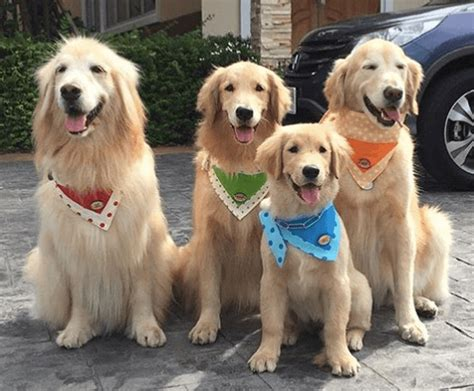 should i get a golden retriever 10 tips for a happy golden retriever bullymake box a subscription box for