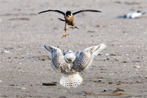 peregrine falcon enemies video search engine at search com