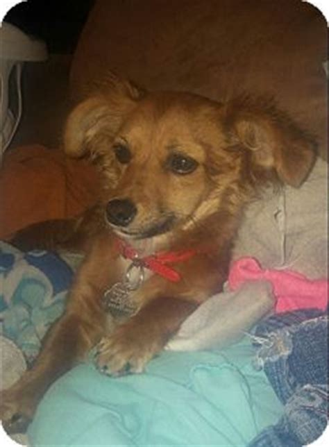 dachshund puppies utah adopted puppy ogden ut dachshund chihuahua mix