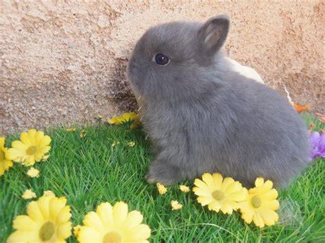 b07csr31fb la tete du lapin bleu lapin nain prix c est trop mignon