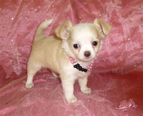 apple chihuahua puppies akc bred apple chihuahua puppies raised
