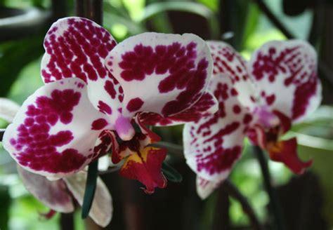 come mantenere le orchidee in vaso orchidea farfalla fiori e foglie