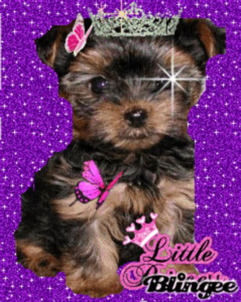 what do yorkie poos look like princess yorkie poo picture 93933052 blingee