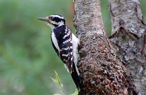 species  woodpecker   find  golden gate