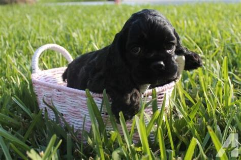 cocker spaniel puppies for sale in florida cocker spaniel puppies must see pics gorgeous for sale in davie florida classified