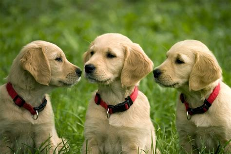 list of golden retriever breeders golden retriever puppies wallpaper retrieving independence