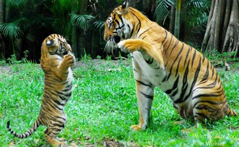 #MalayanTiger: Malaysia's National Animal Nearing ...