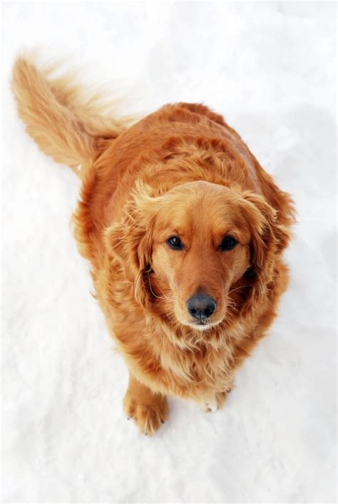 golden retriever runny nose 17 best images about snow dogs on image snowman and snowball