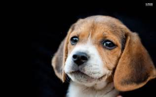 Beagle puppy on a black background wallpapers and images wallpapers