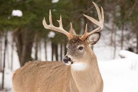 Deer With by Whitetail Deer Travel Manitoba