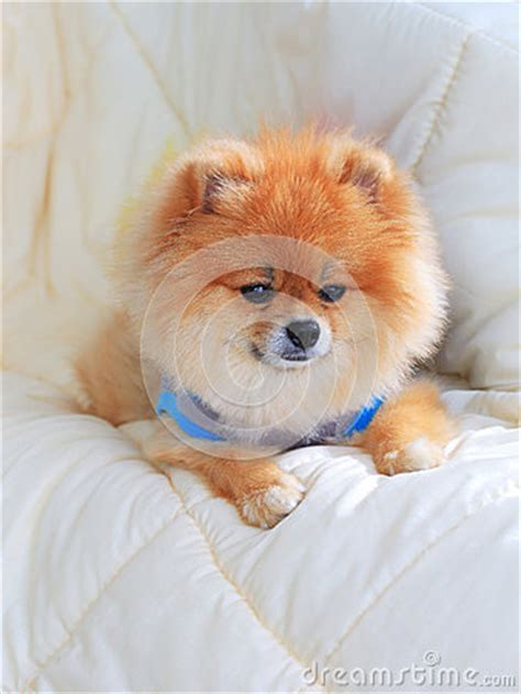 Pomeranian Grooming Wear Clothes On Bed Stock Photo Image 39893836