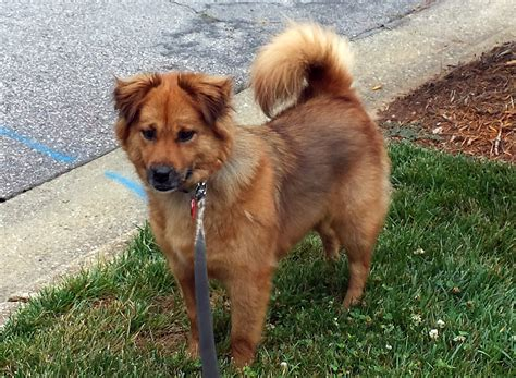 shih tzu and chow mix chow border collie mix a beautiful rescue allmutt