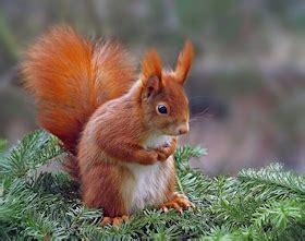 scogliattolo volante sulle tracce dello scoiattolo rosso parco di monza