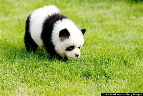 panda puppy daw panda dogs are dogs that looks like pandas things