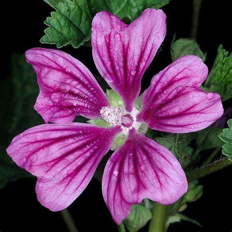 fiore di malva fiori di malva tisane propriet 224 fiore di malva
