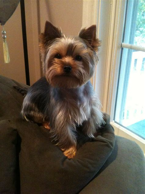 pictures of yorkie haircuts morkie haircuts
