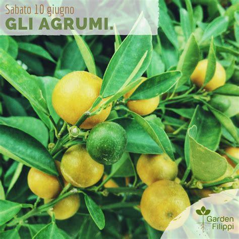 pianta limone in vaso cura cura dei limoni in vaso cura dei limoni in vaso with cura