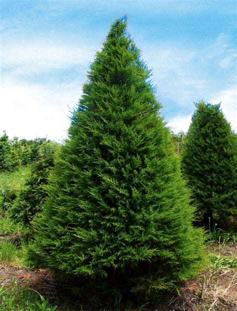 how long do real xmas trees last what s the best real tree stuff co nz