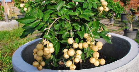 trik sederhana penjual bibit  tanaman buah  pot