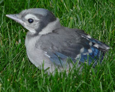 a baby blue jay at the manse and lessons from my