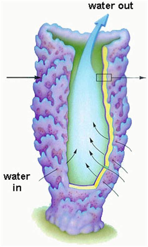 Is A Sponge A Filter Feeder biology phylum porifera askiitians