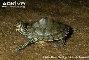 map turtle barbour s map turtle photo graptemys barbouri g104891