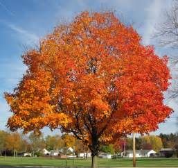 acer saccharum sugar maple tree in fall colors country