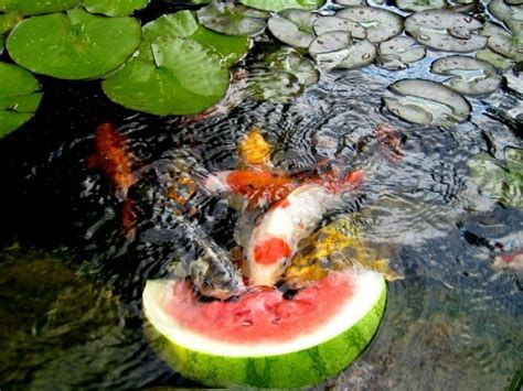 Backyard Coy Ponds by Water Garden And Koi Pond Designs For The Backyard And Patio