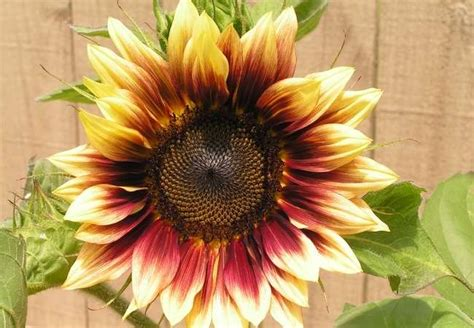 Bathroom Ceilings Ideas Types Of Sunflowers 10 Blooms Not To Be Missed Bob Vila