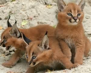 фото кошки-ашеры
