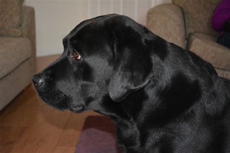 labrador dogs for sale black labrador for sale consett county durham