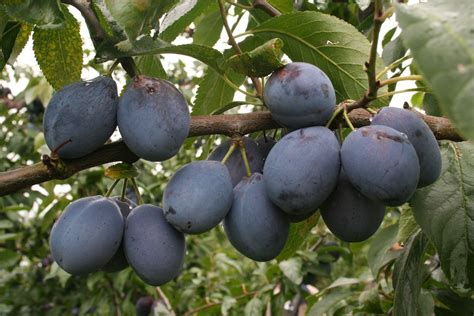Schädlinge Am Apfelbaum 3521 by Krankheiten An Apfelb 228 Umen Pflanzen Nat Rlich Vor Sch