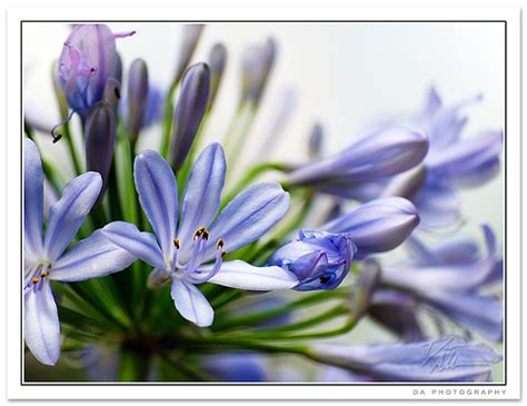 agapanthus flower pictures meanings white agapanthus flowers