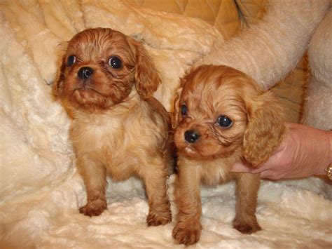 cavalier puppies for sale cavalier king charles puppies for sale lancashire pets4homes