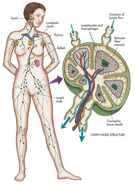 lymph nodes the organs of the immune system dr farrah cancer center