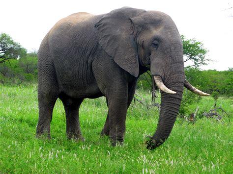 Gajah India gambar hewan margasatwa binatang menyusui fauna