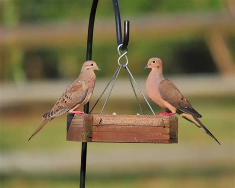mourning dove couple at the bird feeder flickr photo