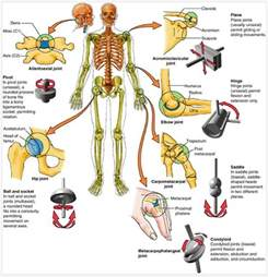 Yoga Ball Desk Types Of Joints Anatomy Pinterest Exercise Synovial