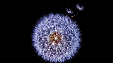 wallpaper samsung galaxy  dandelion flower dark stock