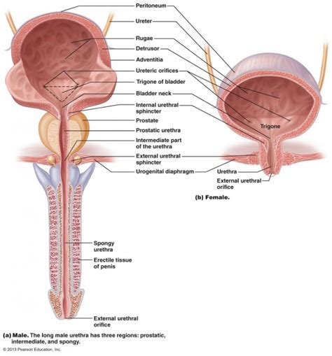 womens diagram diagram anatomy diagram
