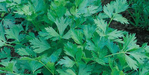piante aromatiche in giardino piante aromatiche da giardino come disporle nel tuo angolo